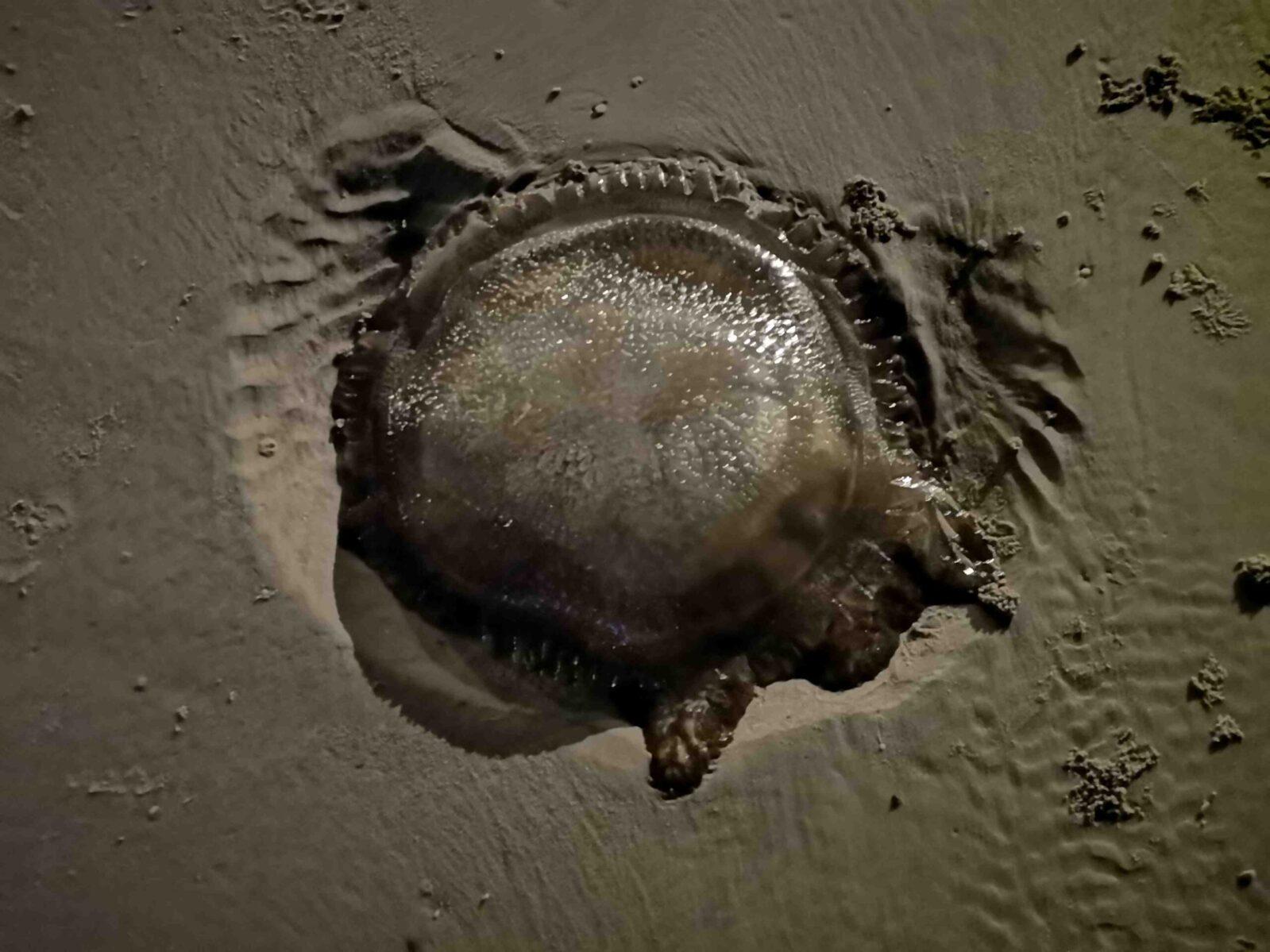 Medusa-spiaggiata-a-Hua-Hin