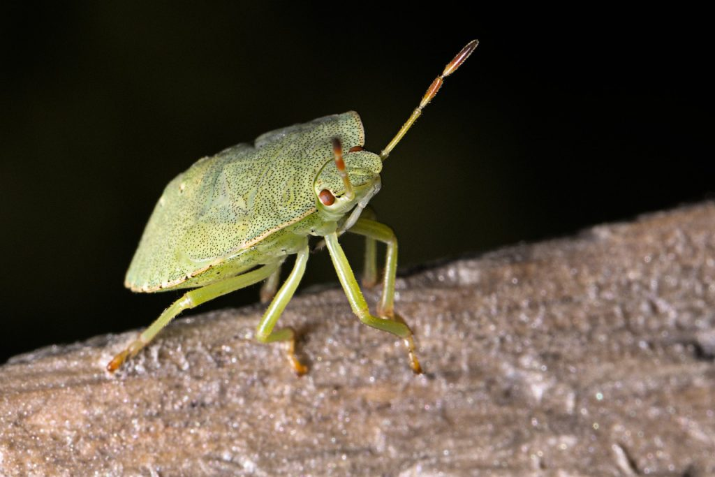 green-stink-bug-gc268a2cfc_1280